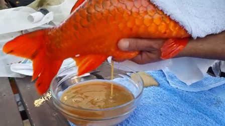 锦鲤鱼人工取卵:感觉肚子被掏空