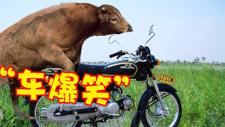 当牛对车产生了兴趣!