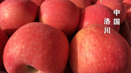 陕北苹果成熟时洛川等你来