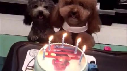 主人把泰迪崽崽的照片印到生日蛋糕上, 给崽崽过5岁生日!