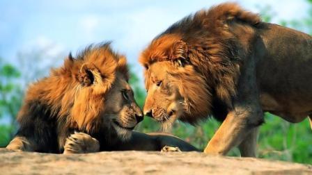 一群公狮子朝你走来 会不会害怕