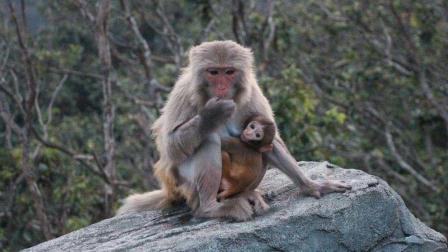 实拍一只母猴子难产, 最后竟自己用手把猴宝宝拉出来!