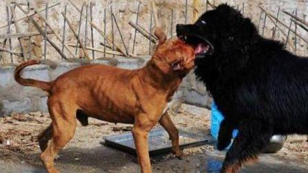 藏獒PK比特犬,咬死东北虎,惨不忍睹 98