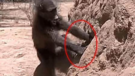 非洲原始部落活捉狒狒的绝招