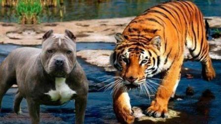 恶魔比特犬大战老虎, 画面太暴力