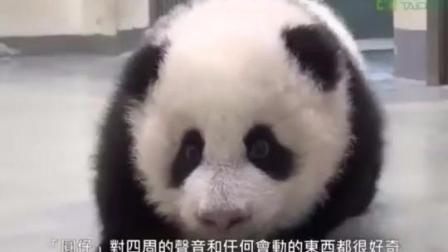 熊猫宝宝偷偷从床上爬出来后到处乱跑, 但妈妈一出现后让人笑翻!