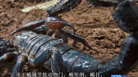 世界上最大的蝎子-帝王蝎