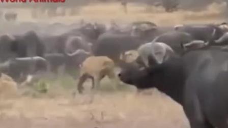 动物世界 狮子大战一群野牛, 鄂鱼群欧非洲狮子