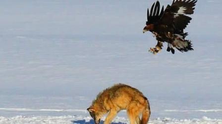 羊群经常遭到野狼的猎杀 村民拿出两只金雕对野狼进行围捕