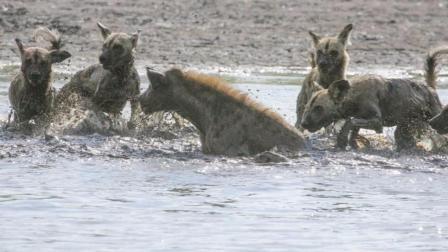 鬣狗大战非洲野狗, 为什么被掏的总是鬣狗?
