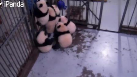 熊猫宝宝快把饲养员逼疯了 哈哈 一群小饭团扑过来