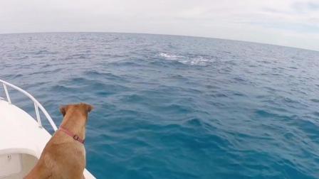 狗狗看到有海豚自己也跳下去游了