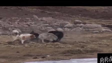 一只狼轻松搞定6只獒犬, 其中一只藏獒被吃掉