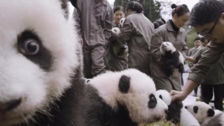 可爱的熊猫宝宝们