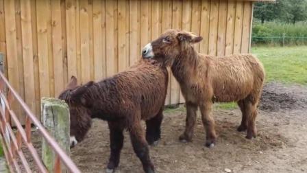 驴夫妻野外温馨, 温柔的公驴第一次见长毛的驴