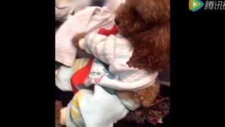 主人把泰迪狗狗的衣服弄坏了 狗狗这下真的生气了