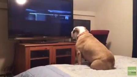 当电视放到坏人要谋杀小主人的时候, 狗狗终于忍不住了