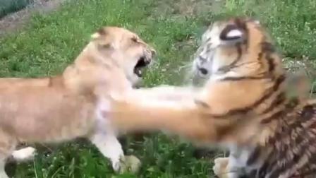 小老虎与小狮子比比谁更萌呢