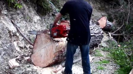 国外伐木工切割大树, 锋利的锯子工作起来真舒服