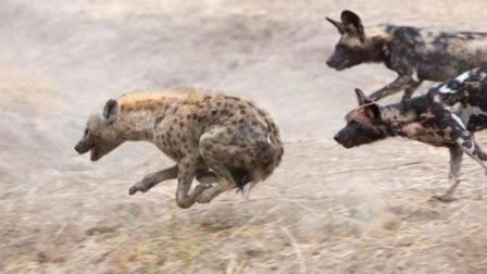 鬣狗大战野狗群, 鬣狗被活活吞掉, 好恐怖!