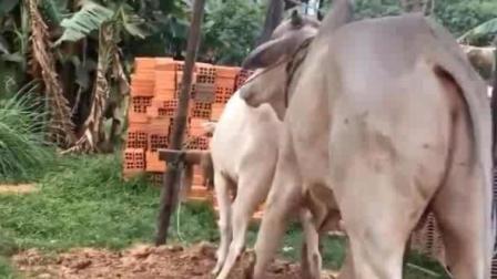 实拍农村公牛求偶, 公牛体型巨大近两米高! 母牛瘦小的让人心疼!