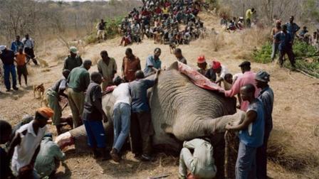 大象肉能吃吗? 为什么没见有人吃?