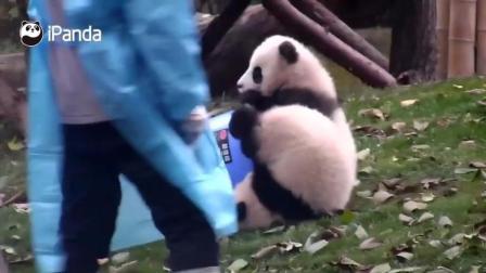 熊猫宝宝灰灰掉水桶里了 好萌的