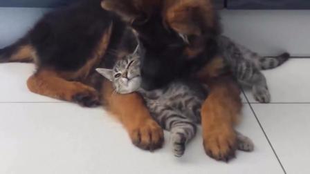 我好像遇到了只假的德国牧羊犬, 天天就知道抱着一只猫咪腻歪, 啥情况啊!