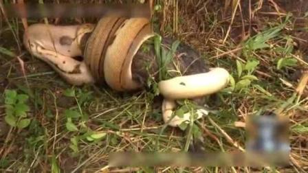 蟒蛇生吞野猪, 因受到猎人惊吓突出猎物逃跑