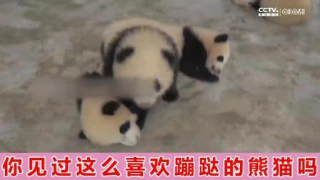 【社会奇闻】你见过这么喜欢蹦跶的熊猫吗?