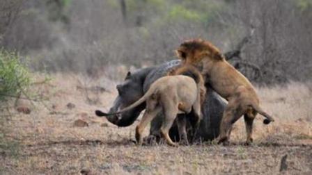 一头河马大战20头狮子, 河马激怒, 瞬间咬母狮!