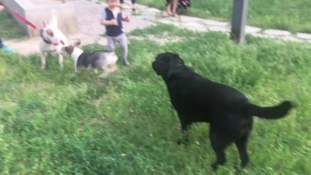 美男子不珍惜眼前的小媳妇, 结果它只能看着大大和别的狗子玩的很嗨!