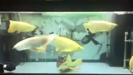 黄化龙鱼、霓虹达摩、大帆女王混养(一缸黄金毒物)【独孤妖冶】