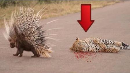 当草原猎豹遇到豪猪, 下场只有一个结果