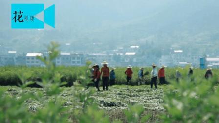 湖北农村在自留地种的野草, 竟有80%的中国人都在用它治病!