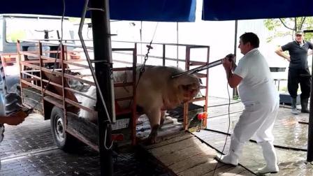实拍: 电击法杀猪, 见猪还在动又电了一下