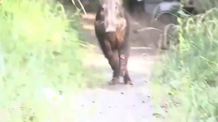 奔跑吧野猪!日本大学闯进一头野猪,一男子被撞伤