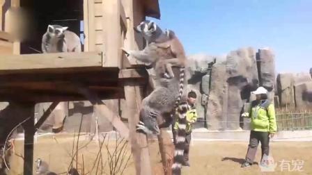 当马达加斯加的猴王来到中国