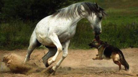 动物世界最不能惹的就是它, 看看狗狗和马招惹的下场, 实在太惨了