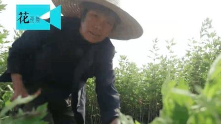 """农村妇女一种叶子熬水泡脚, """"大姨妈""""来了从不喊痛!"""
