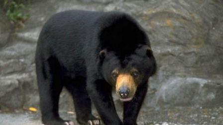 黑熊大战20只牧羊犬! 场面壮观!