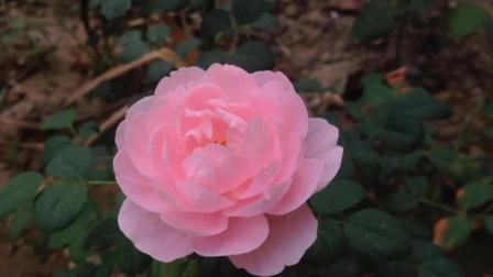 欧月 英国玫瑰 瑞典女王 月季 花种 花苗盆栽 玫瑰香水精油 像荷花 莲花