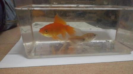 三条小鱼的故事 金色大鱼抢吃小鱼的食物