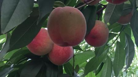 桃树视频 蜜桃子熟了 桃树该摘桃子果了