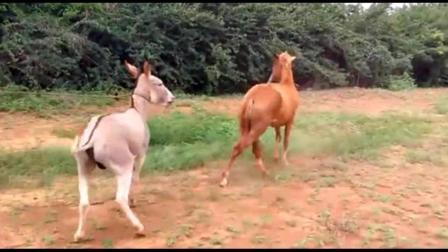 主人带驴出去散步, 野外遇见一头母马, 可把公驴高兴坏了!