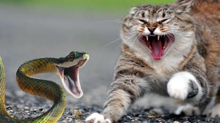 猫和蛇表演了一场龙虎大战, 小猫技术高超太逆天