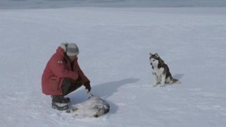 五只阿拉在南极生存了一百多天, 遇到主人后有只阿拉却不上车, 看到最后把我感动的想哭