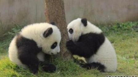 熊猫宝宝瞬间变桌子 哈哈