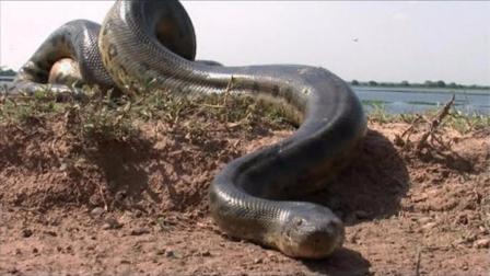 这么大条蛇, 可不是电影哦! 盘点世界上最大的动物!