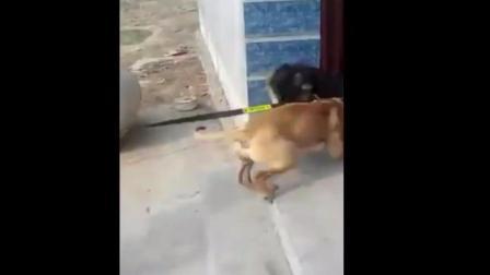 土狗打架最强视频, 可以轻松秒杀藏獒, 比特犬, 哈士奇!